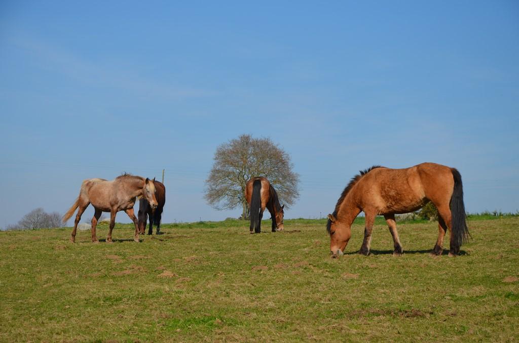 chevaux patures